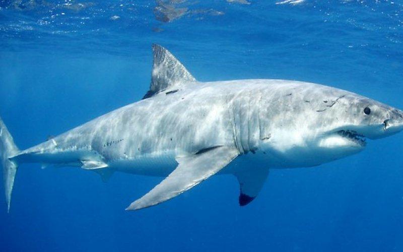 Хрущял от акула за здрави стави и още нещо